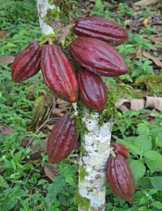 Sustainable Sourcing in the Cocoa Supply Chain
