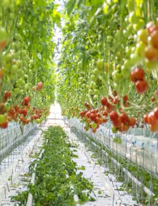 Large Greenhouse to Supply East Coast Market