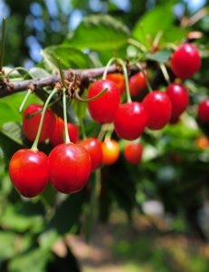 Cherry Picking: A Race Against Time